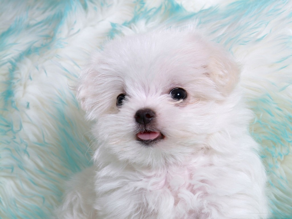 http://4.bp.blogspot.com/-VC7-XepzhdM/TlfKb6BoPKI/AAAAAAAACW0/qDF2r7_Wadw/s1600/White_puppy_with_cute_tongue.jpg