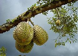 wisata jawa timur, wisata jombang, durian montong kampung durian