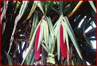 Asli buah merah Wamena Papua