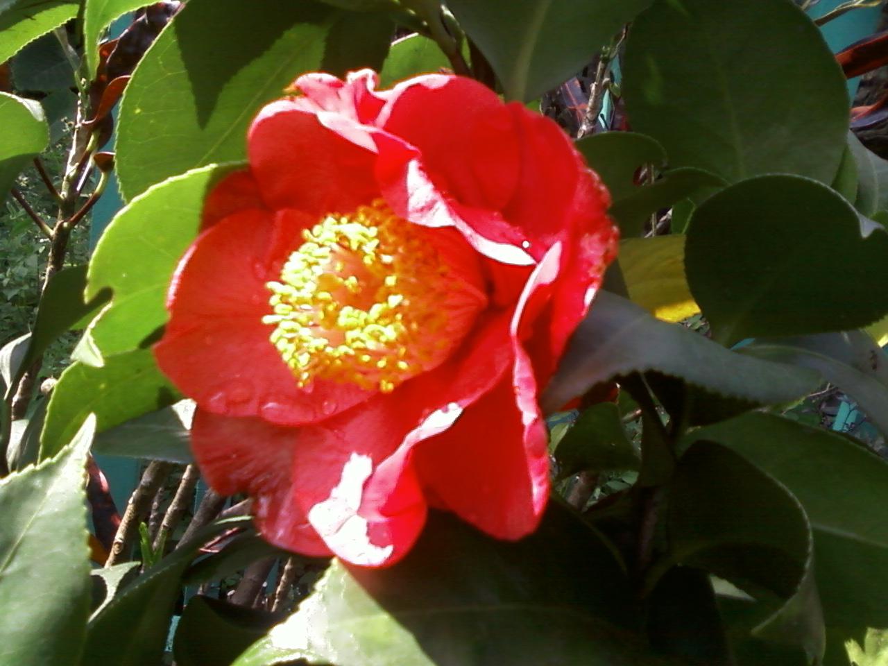 Bunga Cempaka Merah