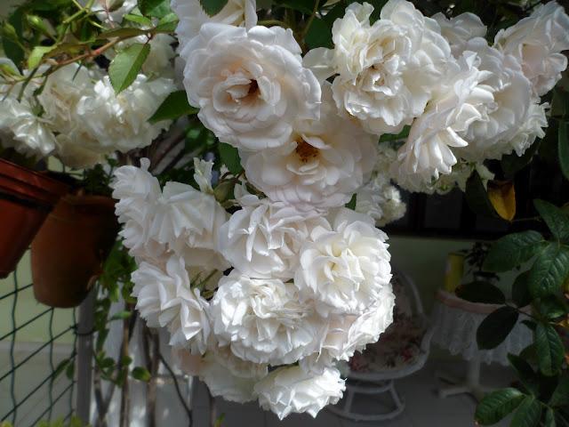 meu jardim - buquê de rosas - rosa trepadeira