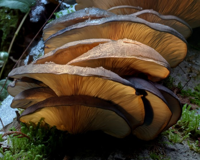 an erupting shelf of oyster mushrooms on a log in Mount Work