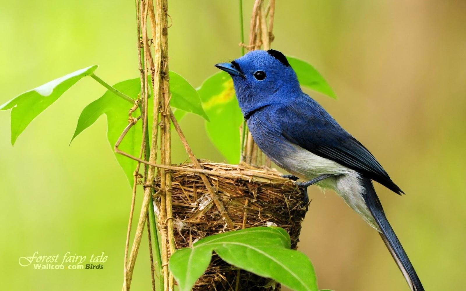 Blue Birds Photos
