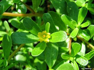 Αντράκλα σπορά φύτεμα καλλιέργεια