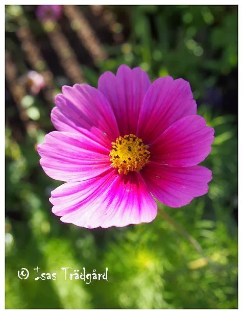 Rosenskära en solig morgon