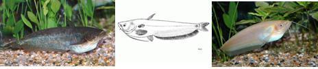 Ikan Tapa Lubuk