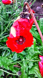 When Poppies Weep