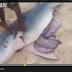 بالفيديو: شاهد على ماذا عثر صيادون عند فتح بطن قرش!