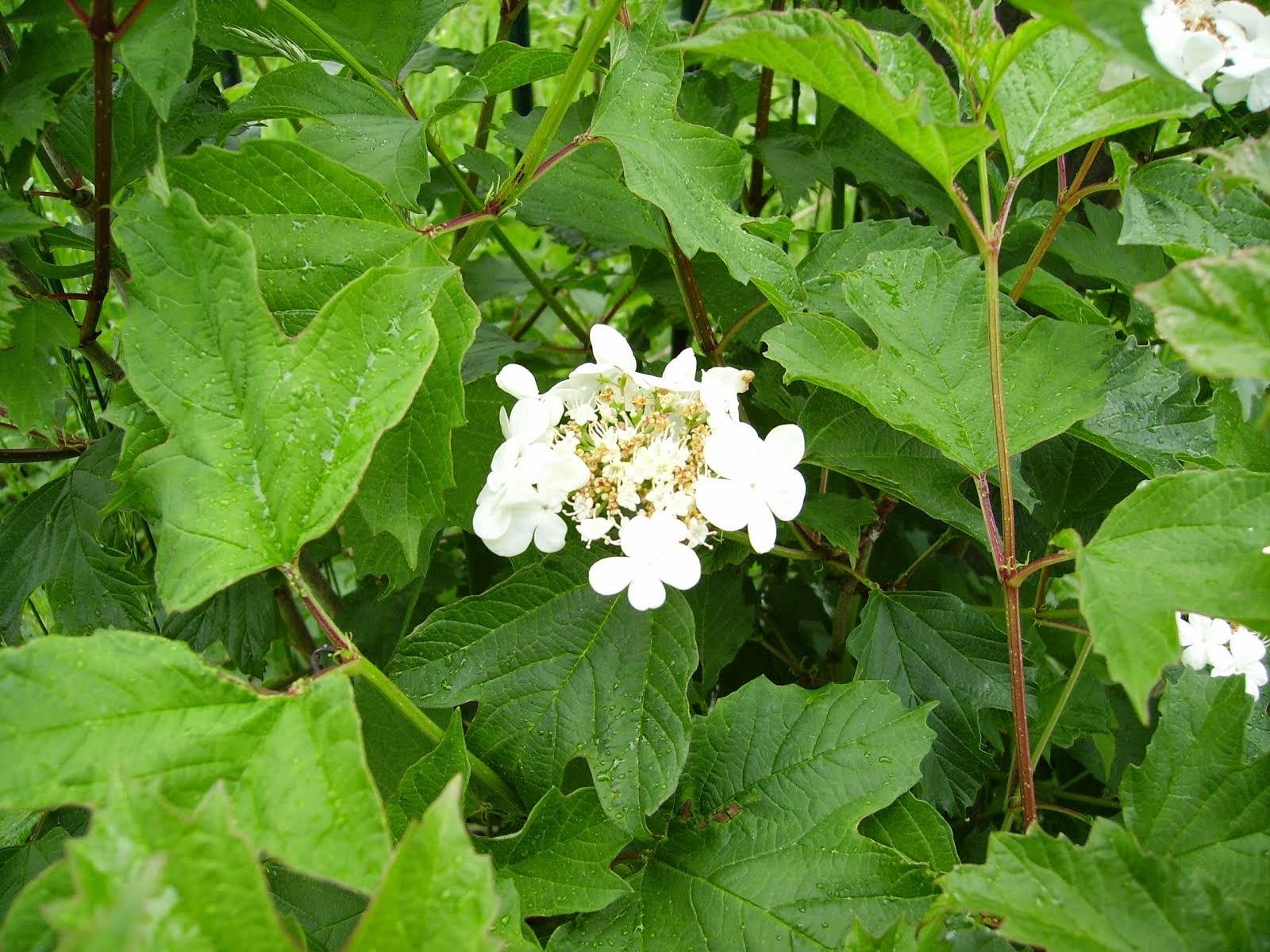 Crampbark flower