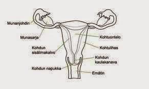 naisen sukupuolielimet anatomia Tornio