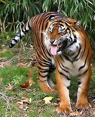 Gambar Harimau Sumatera