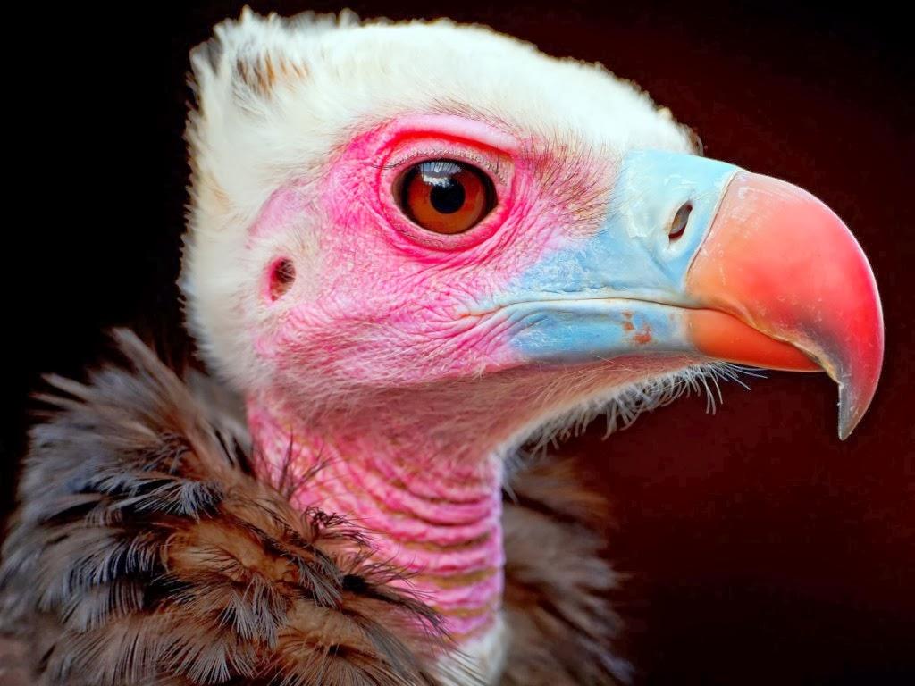 "<img src=""http://4.bp.blogspot.com/-VF3aMeT3FtI/UtumFAuS3iI/AAAAAAAAI98/vYRYQNpPYIg/s1600/vultures.jpeg"" alt=""vultures"" />"