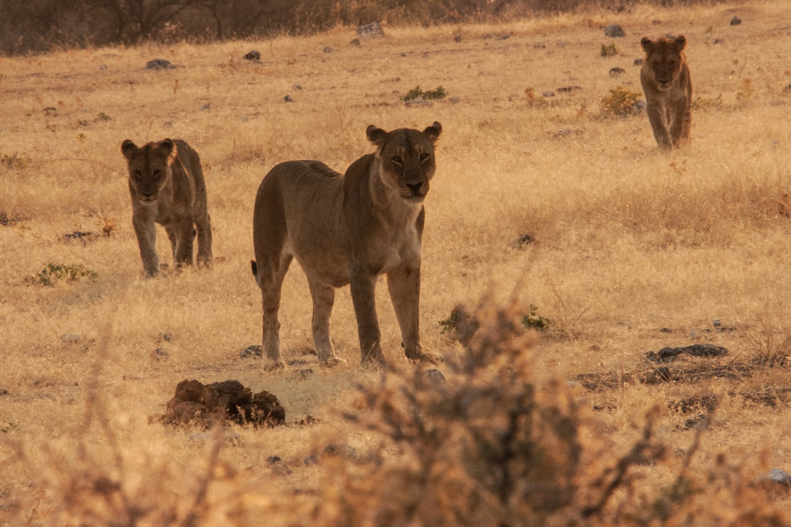 lions pride namibia