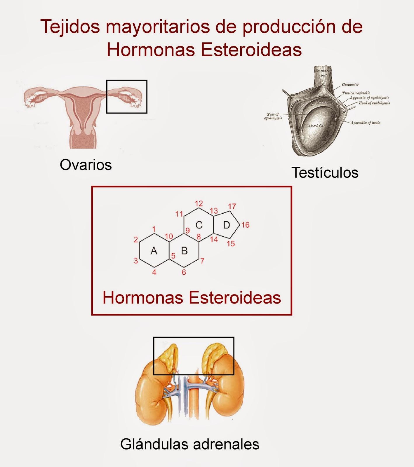 los ovarios y testiculos producen hormonas esteroides