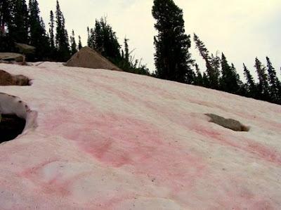 salju pink