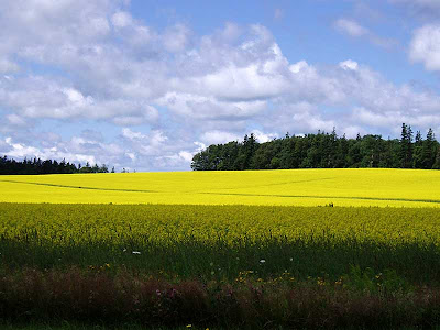 The farmers have planted a lot of canola this year and when it blooms it turns this intense colour of yellow. So beautiful!