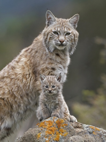 Bobcat (Lynx Rufus) Mother and baby kitten