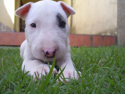 Bull Terrier Puppies on Follow The Piper  Bull Terriers