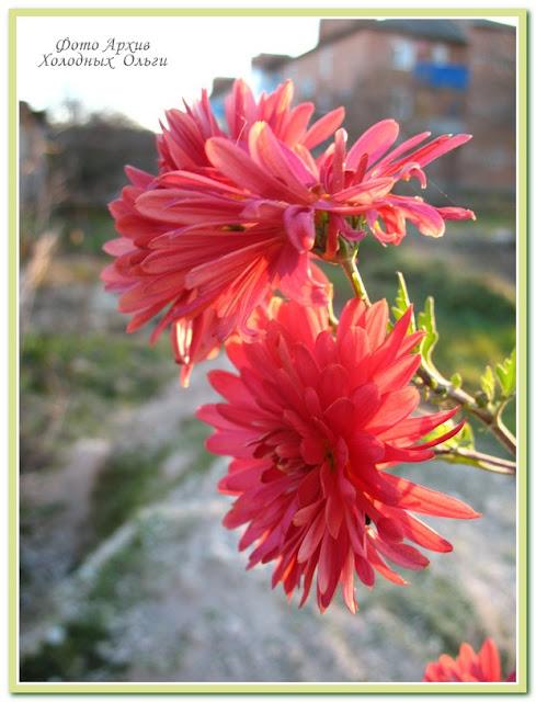 Отцвели уж давно хризантемы в саду...