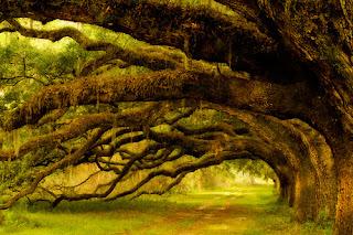 Coastal Live Oak Trees, South Carolina