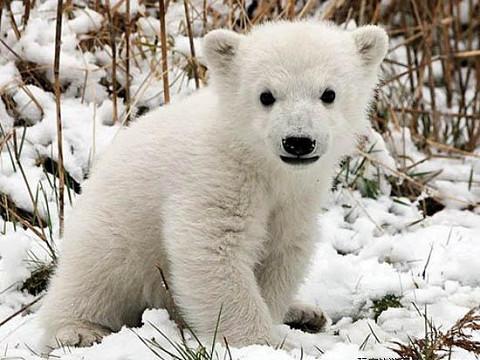 北極熊克努特 4歲6