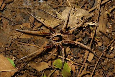 spiders Nicaragua