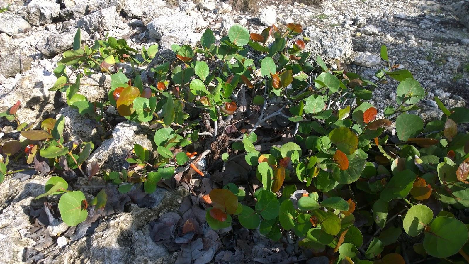 Bonsai En Republica Dominicana RECOLECTA DE PLANTAS PARA BONSAI