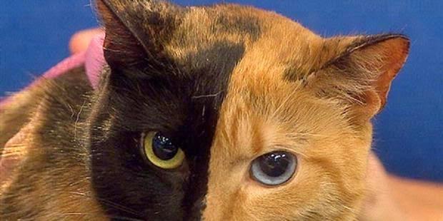Kucing Dengan Dua Belah Wajah Dan Mata Yang Berbeda