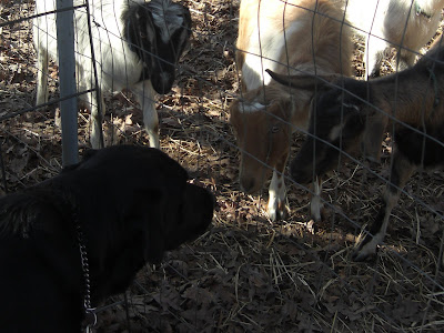 Picture of Al sniffing some baby goats (through the fence)