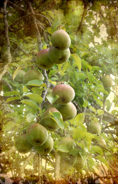 Antique Pears Hickory Ridge Studio