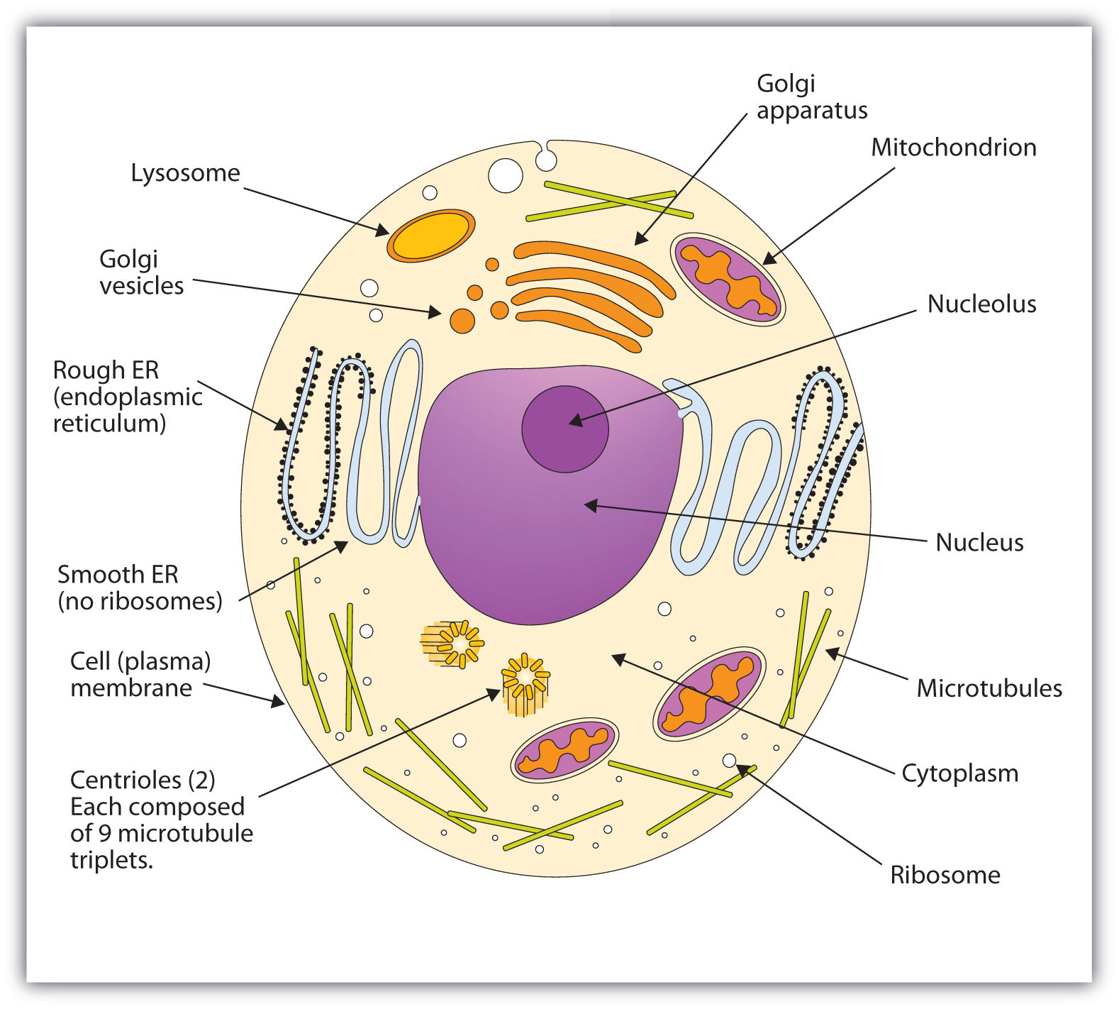 Animal Cell Diagram Simple