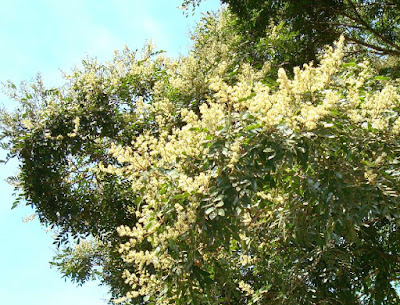 Copaiba Balsam (Copaifera Species) Overview, Health Benefits, Side effects