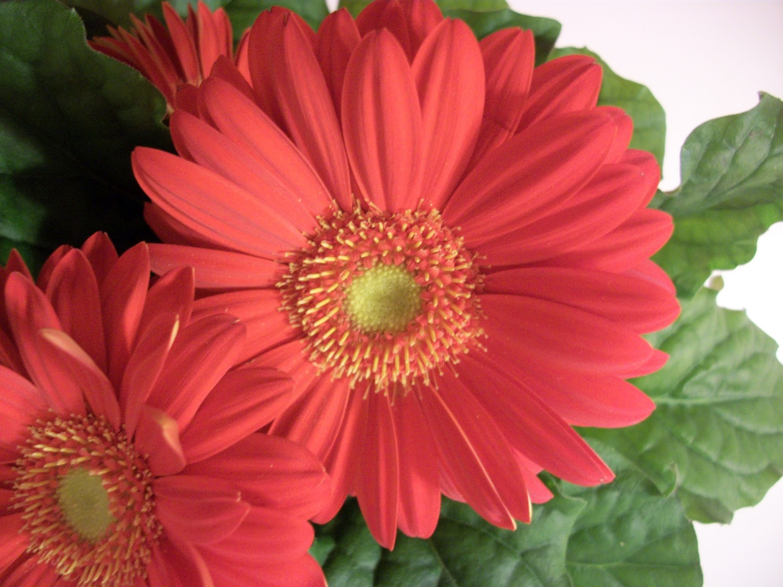 Writing straight from the heart gerbera daisy Where did daisies originate