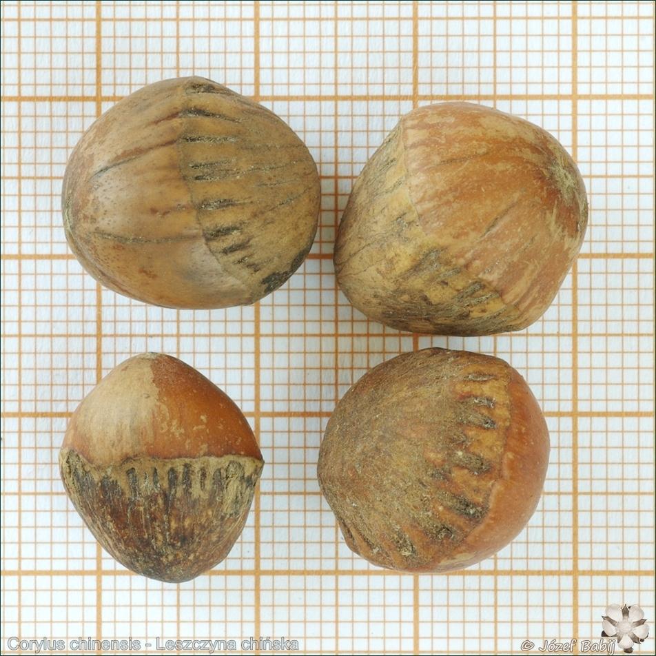 Corylus chinensis seeds - Leszczyna chińska nasiona