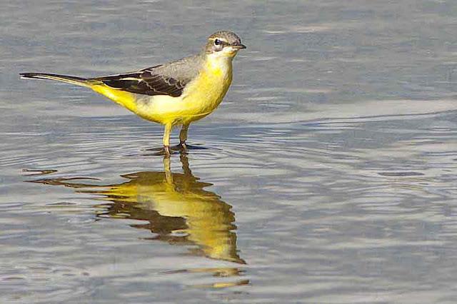 Motacilla tschutschensis, bird, water