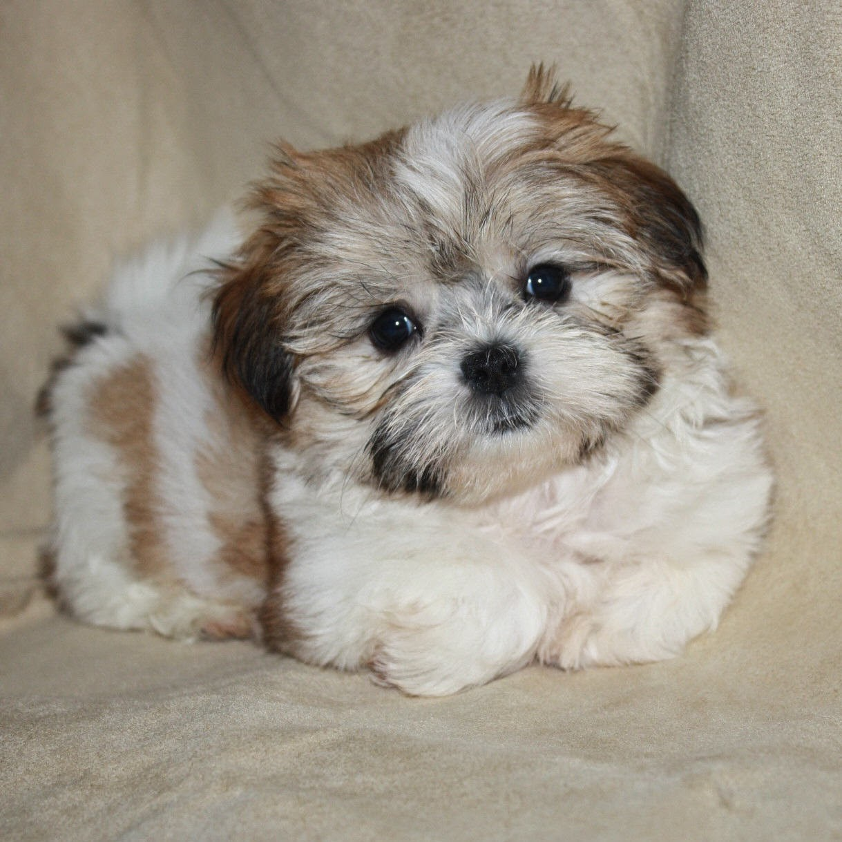 rules of the jungle shorkie puppies