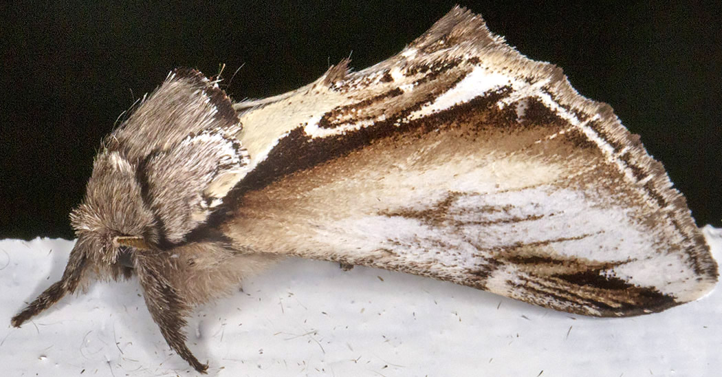 Lesser Swallow Prominent, Pheosia gnoma.  Notodontidae.   Crowborough, July 2014.