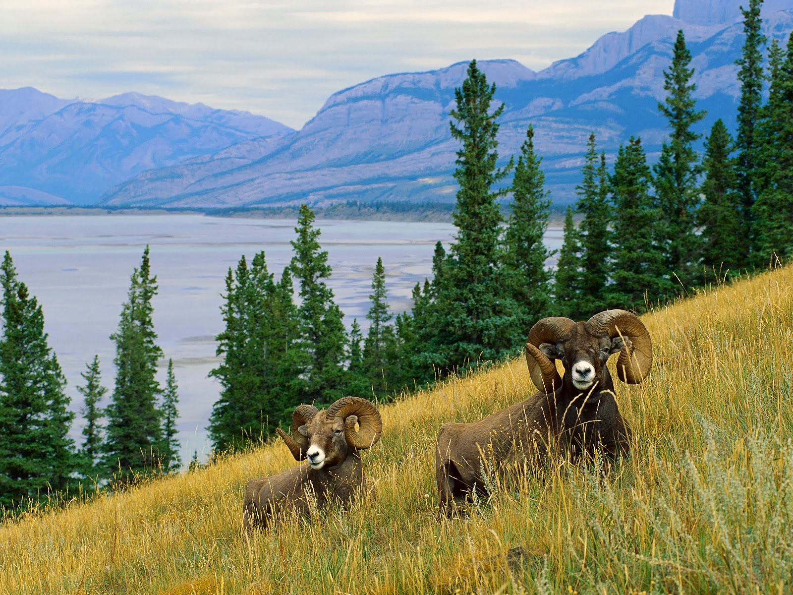 Bighorn Sheep HD Wallpapers