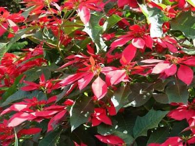 Euphorbia Pulcherrima Pictures