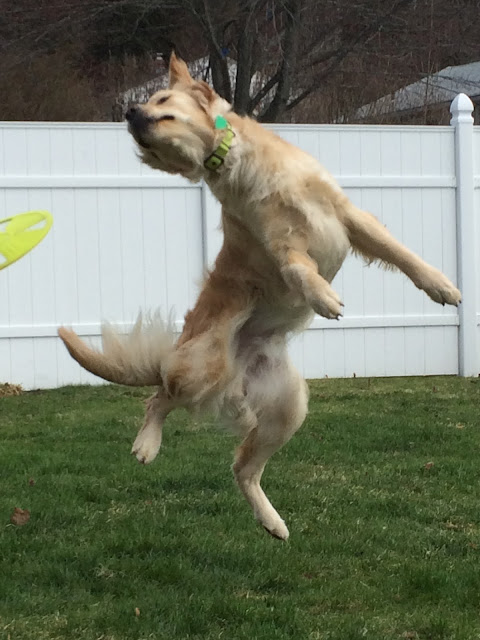 dog catching frisbee playing games in backyard