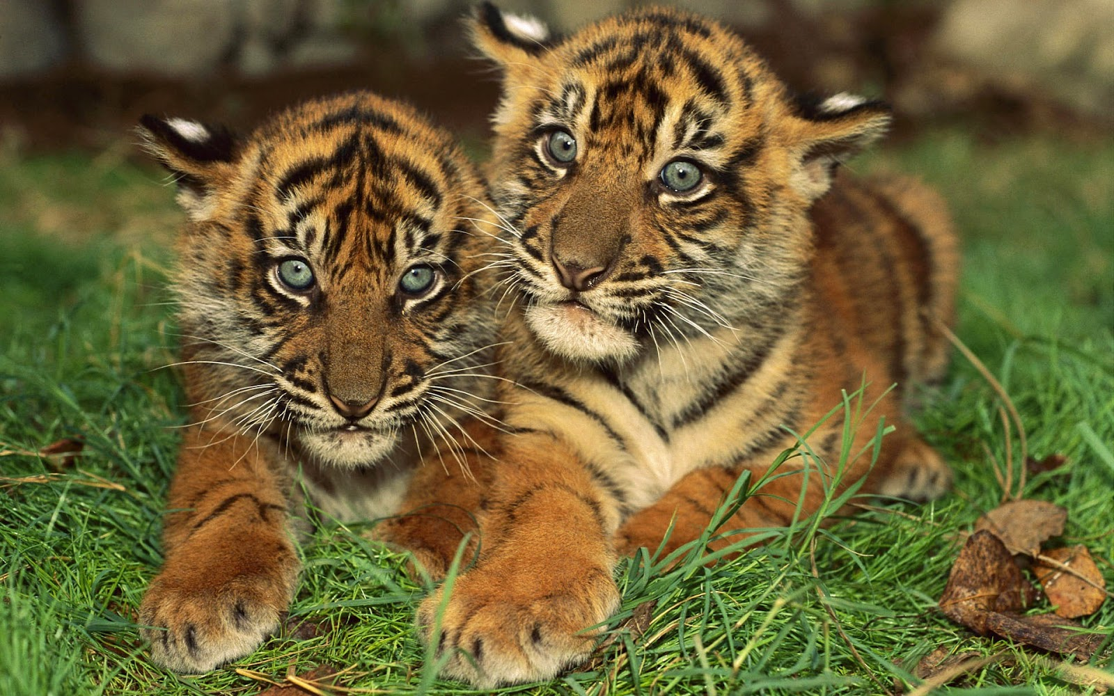 Three Siberian tiger cubs on a log