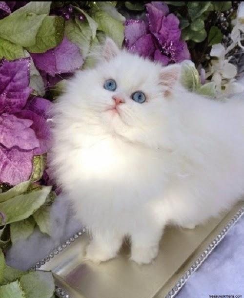 Photo chat blanc yeux bleus dans le jardin