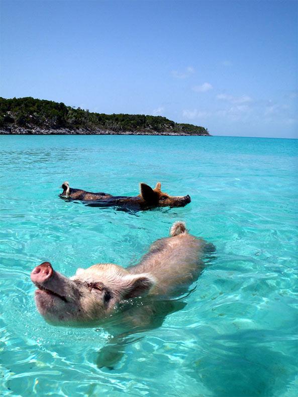 Conocé a estos lindos cerdos nadadores de las Bahamas