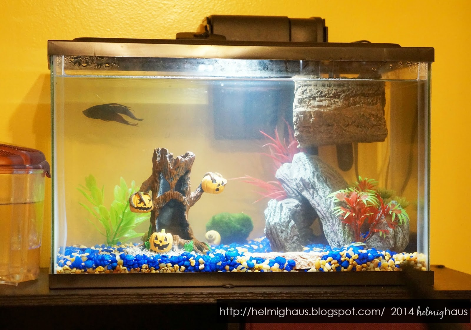Fish in new aquarium - Front View Of Our 5 Gallon Aquarium With Halloween Decorations Via Helmig Haus