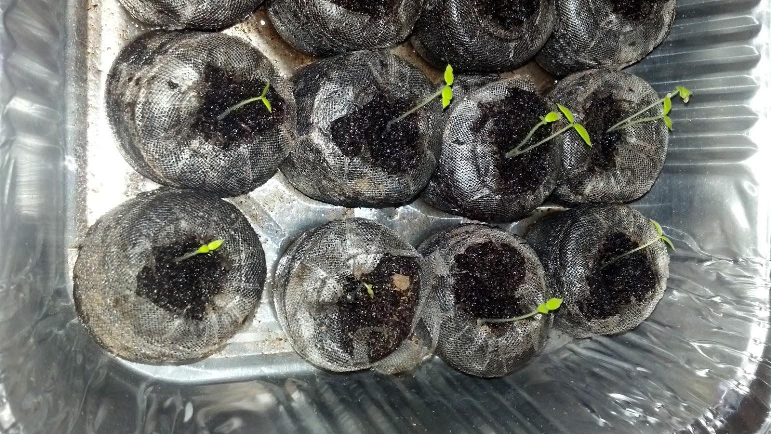 Baby Garden Huckleberry