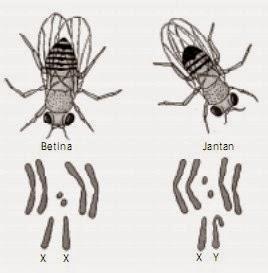Sel jantan dan betina pada lalat buah