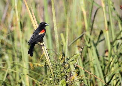 Red-shouldered Blackbird, Cuba - Simon Colenutt - The Deskbound Birder