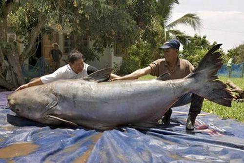 Largest Amazon Catfish The World's Largest Catfish