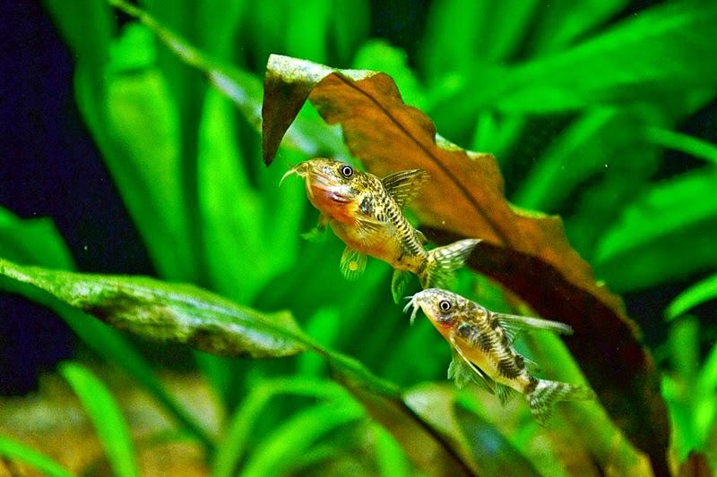 Ikan Hias Corydoras Paleatus
