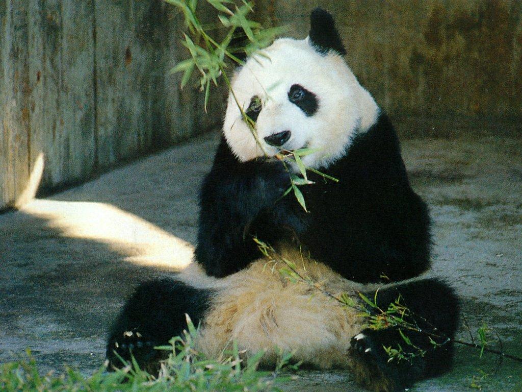 random wallpapers panda wallpapers